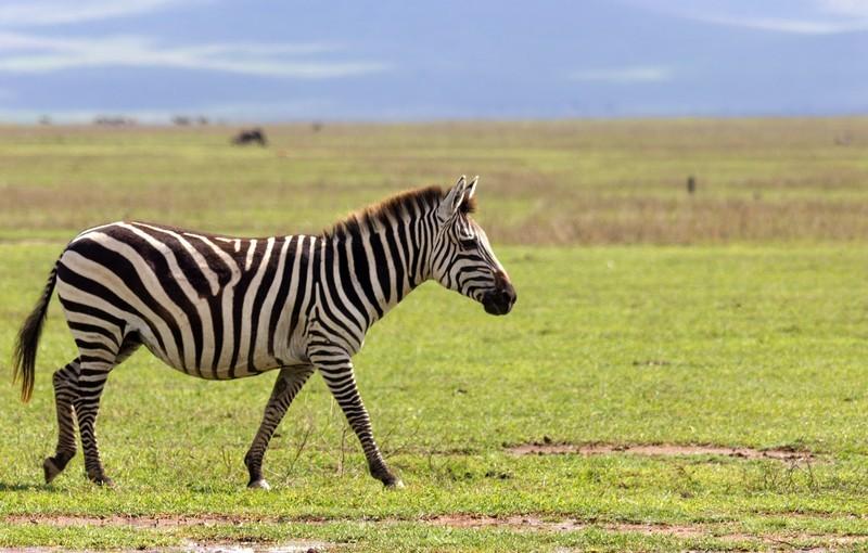 Зебра Африка